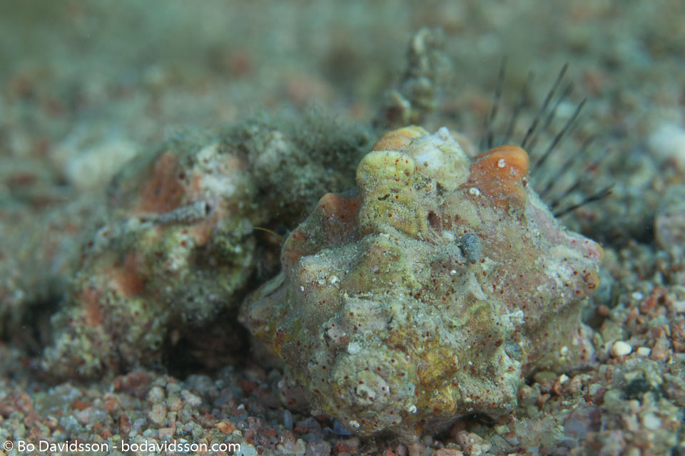 BD-121127-Aqaba-7410-Euprotomus-aurisdianae-(Linnaeus.-1758)-[Diana-conch].jpg